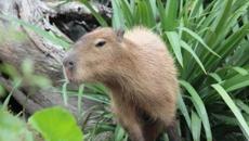 Wellington Zoo plays matchmaker to capybaras