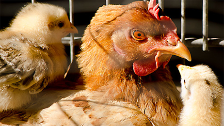 All major NZ supermarkets to drop cage eggs