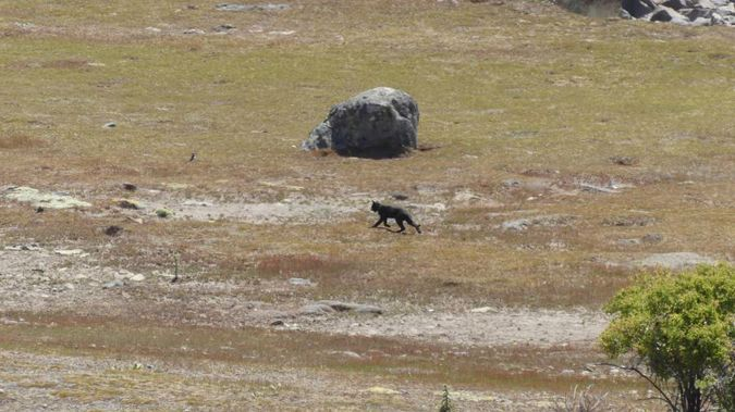 The panther was reportedly sighted in Tekapo last year. (Photo / Supplied)