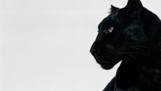 The mysterious black panther sighted in Otago