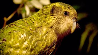 Sirocco the kakapo turns 21