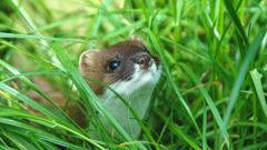 Stoats are considered a pest in New Zealand (Photo: NZ Herald)