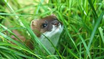 DOC stepping up search for stoat on Gulf islands