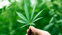 Grey Power branch to Govt: Let us grow medicinal cannabis