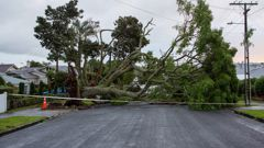 Tree fallen during last Tuesdays storm (Photo \ NZ Herald)