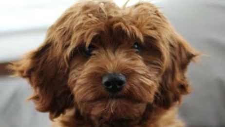 CCTV footage released in bid to find Bowie the Cavoodle