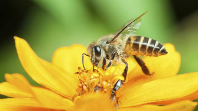 Bees and other insects are vital for food production as they pollinate three-quarters of all crops. (Photo: Getty Images)