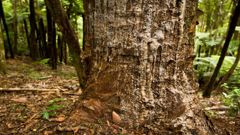 Kauri dieback in the Ranges has led to the closer. (Photo / NZ Herald)