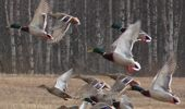 Here's a delicious recipe for duck shooting season (Image / File)