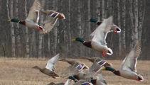 Mike Van de Elzen: An easy recipe for duck shooting season