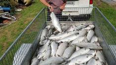 Dunedin Salmon hatchery targeted by vandals again