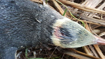 Rare penguins killed by dogs at wildlife reserve