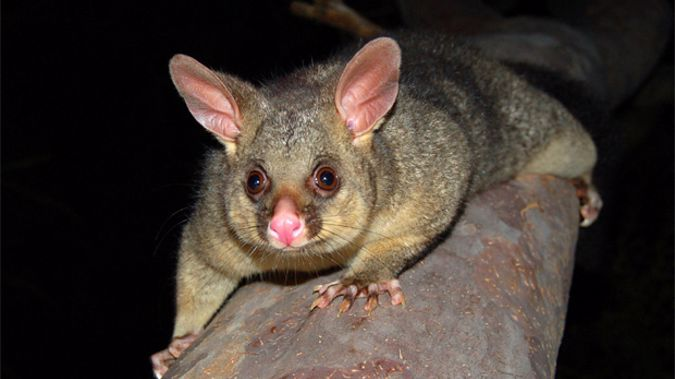 1080 is a poisonous bait which is used to kill pests including possums, rats and stoats. (Photo: stock xchng)