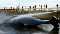 Japan slaughters 122 pregnant whales for 'scientific research'