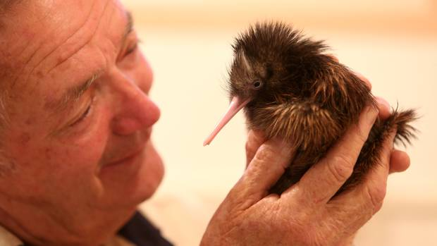 Robert Webb, seen here with a healthy Kiwi chick, has called for bans to gin traps. (Photo / File)