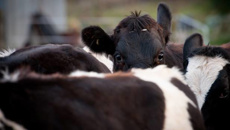 Caller Allan: Should rural schools abandon Calf Day this year?