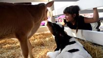 Federated Farmers asks rural schools to ban calves