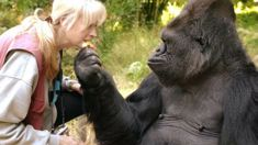 Koko the gorilla, famous for sign-language and adopting kittens, dies at 46