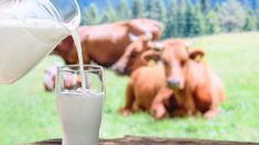 Milk volumes may grow to record this season
