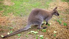 Wallaby sighting in Dunedin launches investigation