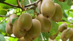 High Court partially upholds kiwifruit growers claim over Psa