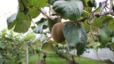 Grant Eynon: Kiwifruit growers seeking compensation