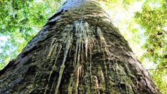 DoC eyeing more mass track closures over kauri dieback threat