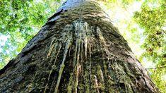 Proposal to close tracks to stop kauri dieback