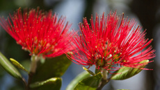 Death of Mt Albert pōhutukawa tree could cost ratepayers $15,000