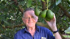 Graham Burgess, of Kaikohe, with one of the few bunches of avocados left in his orchard after thieves stripped about 70 per cent of his crop recently. Photos / Debbie Beadle