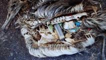 How plastic threatens Kiwi seabirds