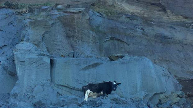 A cow is stranded on cliffs near Whanganui and has reportedly been there for two days. (Photo: Wanganui Chronicle)
