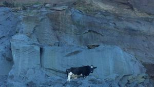 A Cow was trapped on a cliff in Whanganui before being rescued. Photo / Wanganui Chronicle