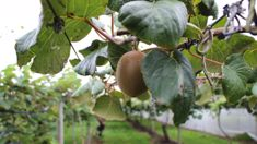 Kiwifruit growers consider counter appeal after crown seeks clarification over Psa decision