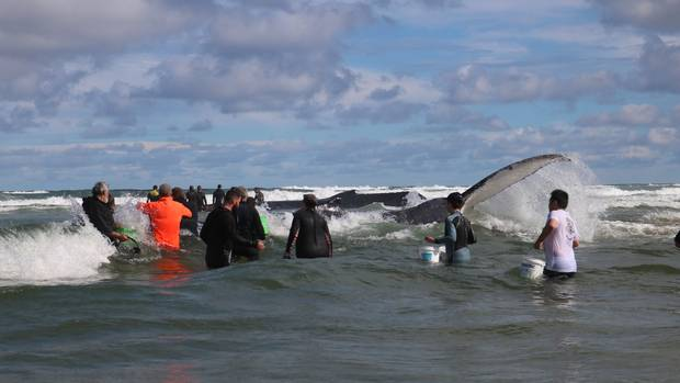 Northland locals and volunteers help to try and free two stranded humpback whales at Northland's Piriro Beach yesterday. Efforts continue today.