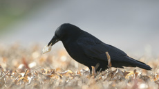 Crows trained to pick up litter at French theme park