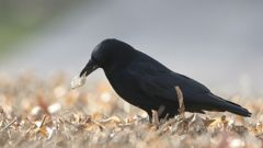 The clever crows get rewarded with treats for picking up the litter. (Photo / Getty)