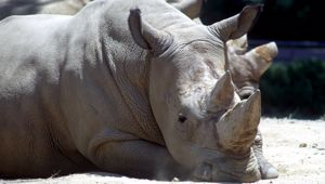 Recent studies estimate roughly 18,000 southern white rhino are left in Africa. Photo \ Getty Images