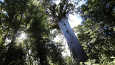 Researcher launches petition to close all kauri forests