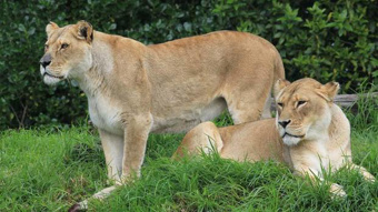 Auckland Zoo: Euthanising lions only option