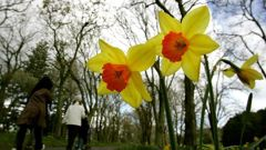 Blooming daffodils bring a welcome first sign of a change of season. (Photo / File)