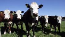 Mycoplasma bovis found in Northland for the first time