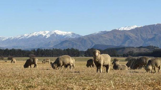 Merino sheep feed on sweet-smelling baleage during a stunning day at Hawea Flat. Photo: Stephen Jaquiery