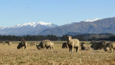 Merino wool fetching strong prices