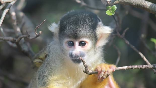 One of the squirrel monkeys was feared missing after the April break-in. (Photo / Wellington Zoo)