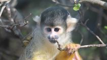 Thief sentenced for attempting to steal squirrel monkeys for girlfriend