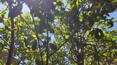 Kerry Sixtus: Stonefruit growers in limbo over MPI threats
