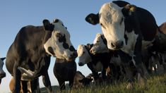 Further collisions between cows and motorists spark warnings