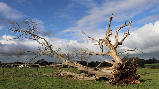New Zealand's oldest oak tree came crashing down on Sunday in a paddock at Waimate North. (Photo / Peter de Graaf)