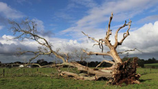 New Zealand's oldest oak tree dies at Waimate North